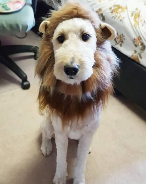 Halloween Lion Wig Dogs