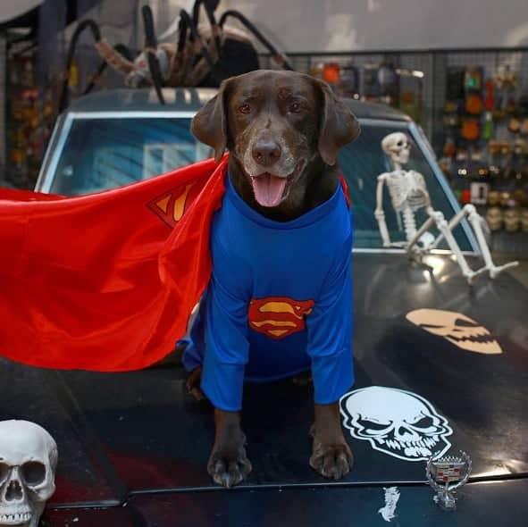 halloween superdog