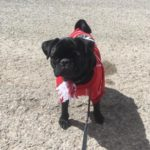 canada-day-photo-contest-dressed-up-pug-puppy